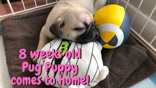 8 Weeks Old Pug Puppy Comes to My Home!!