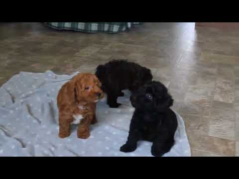 Toy Poodle Puppies For Sale!