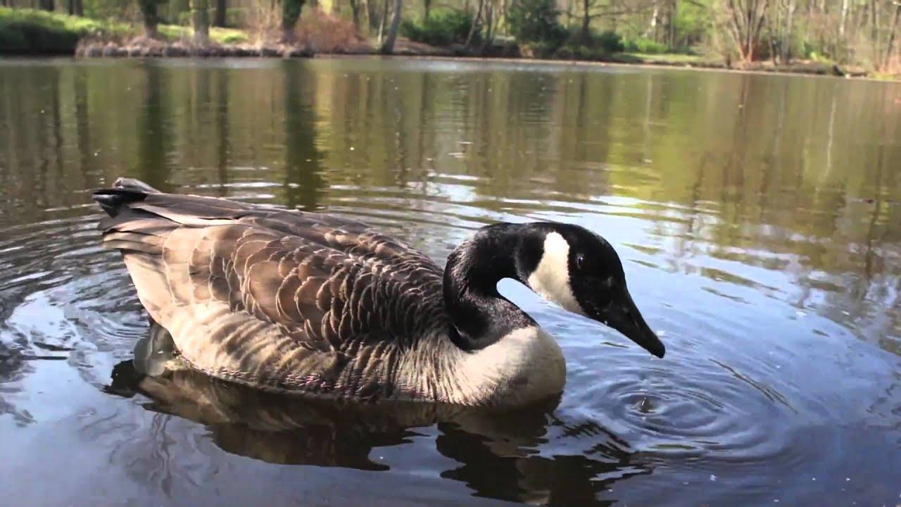 Canada Goose' sound files