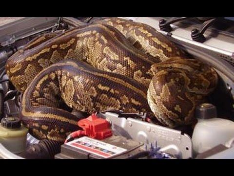 world biggest longest snake inside a car engine youtube. Black Bedroom Furniture Sets. Home Design Ideas