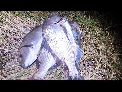 CATCH Snapper At Night In Harbour & COOK Wild River Trout!