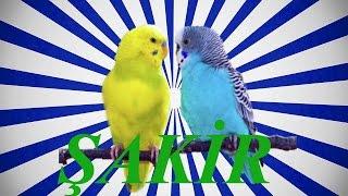 Muhabbet kuşu ve Papağan ŞAKİR konuşma eğitimi isim öğretme Sesi 1 saat