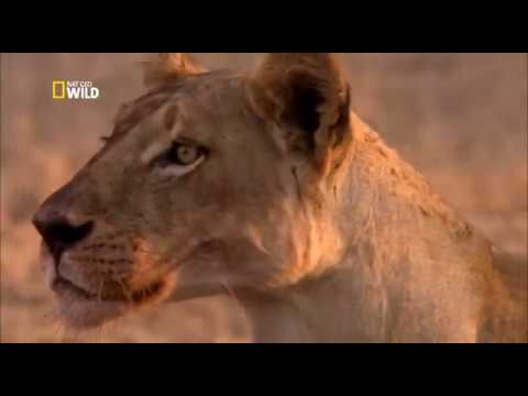 War for territory . Lions and petulants / Nat Geo Wild 2018