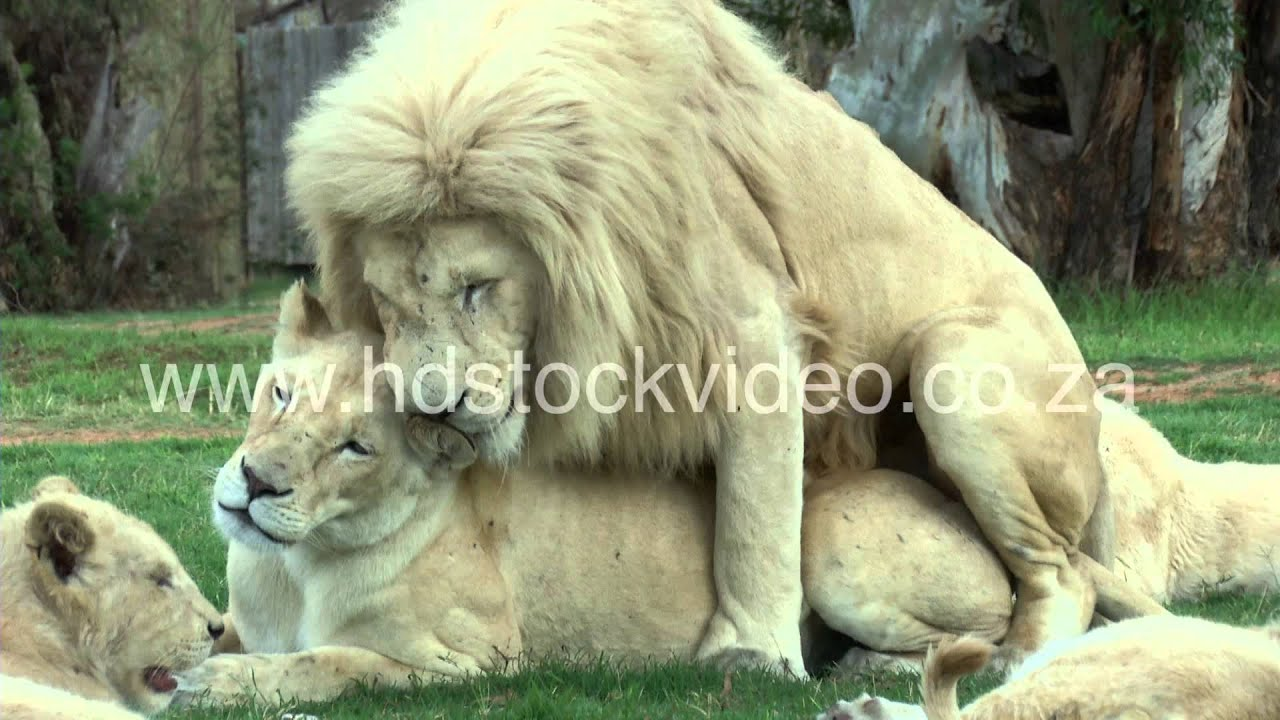 white lions mating 43sec 135m wildlife hd stock video footage