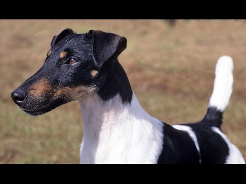 Fox Terrier de Pelo Liso (Fox Terrier Smooth) - Raza de ...