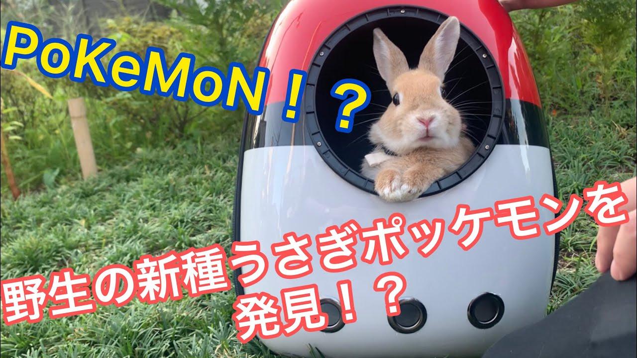 リアルピカチュー!?子うさぎの新種ポケモンを捕獲!?ネザーランドドワーフと公園うさんぽ!Cute Netherlands dwarves bunny PoKeMoN walk in the park!