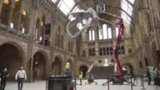 Massive skeletons get a dusting ahead of museum reopening