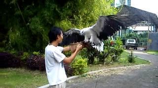 Latihan elang laut