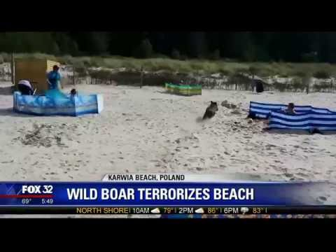 Wild boar runs out of Baltic Sea to terrorize sunbathers at Polish beach!