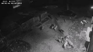 В Новосибирске собаки загрызли кошку.