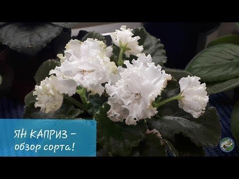 Ян Каприз - Особенности сорта и условий содержания!