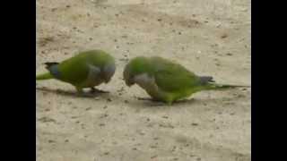 Барселона Попугаи прозевали орех (Видео Турист)(Видео Турист Барселона Попугаи прозевали орех (Видео Турист), 2015-04-11T06:06:47.000Z)