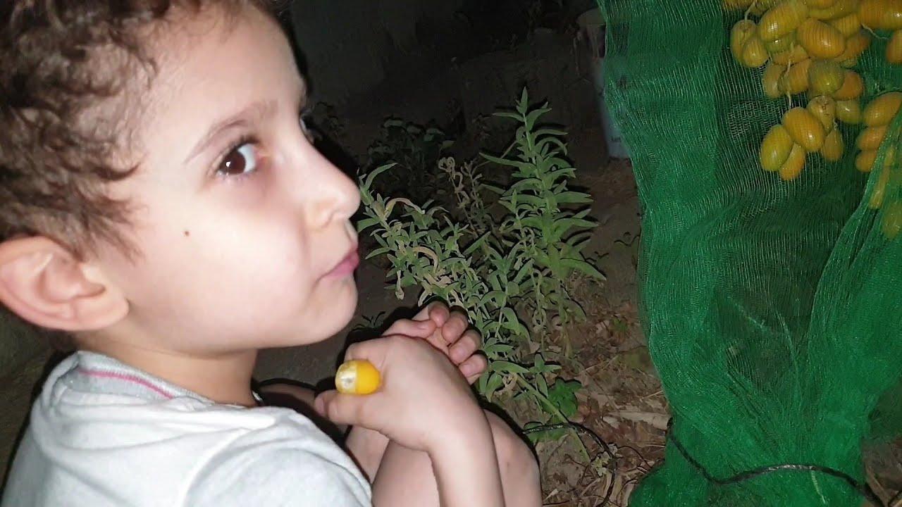 عبود يجرب التمر من نخلة جده -571 -