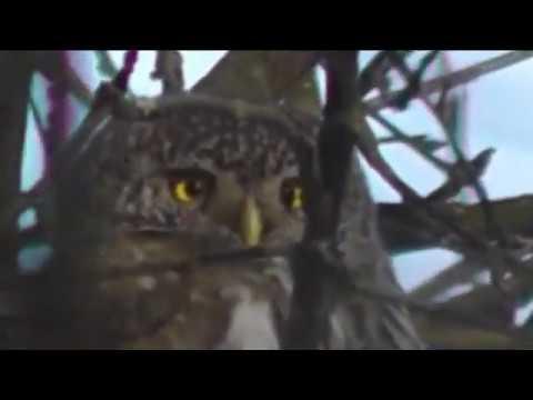 Вопрос: Какую птицу называют воробьиный сыч , как выглядит, где обитает?