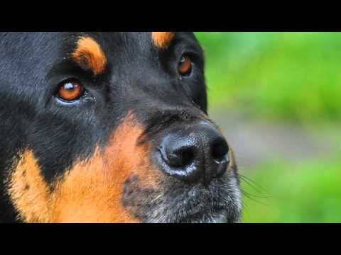 beautiful pictures Rottweiler breed dogs