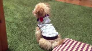 私のトイプードルの為の素敵なお洋服/nice Clothes For My Toy Poodles
