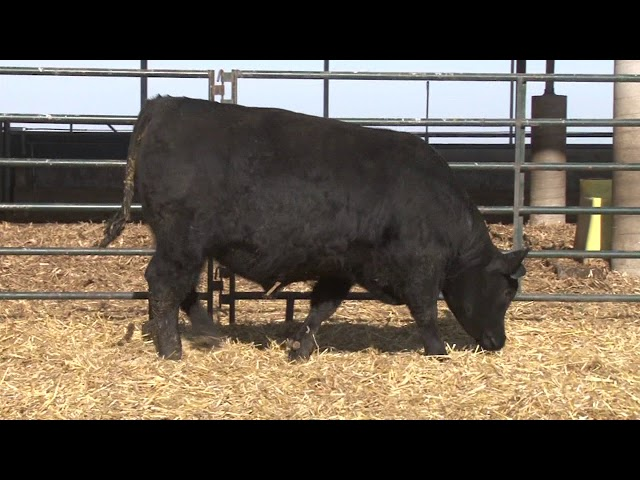 Schiefelbein Angus Farms Lot 29