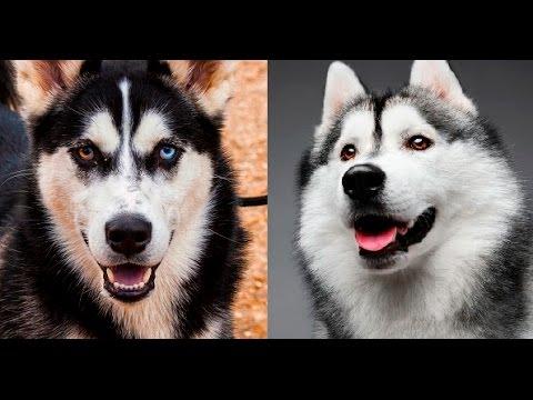 Alaskan Malamute vs Si...