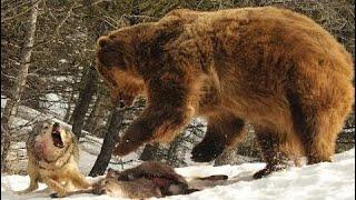 死体を争うクマ対オオカミ 死体を争うクマ対オオカミ 死体を争うクマ対...
