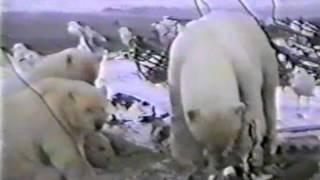 Моржи, белые медведи