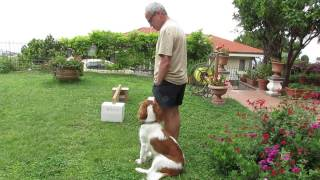 Ettore Welsh Springer Spaniel