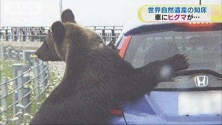 「非常に危険」知床のヒグマが車にのしかかり(15/07/31)
