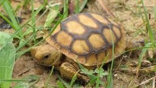 ENDANGERED Gopher Tortoise Up Close! |Ruby's Zoo