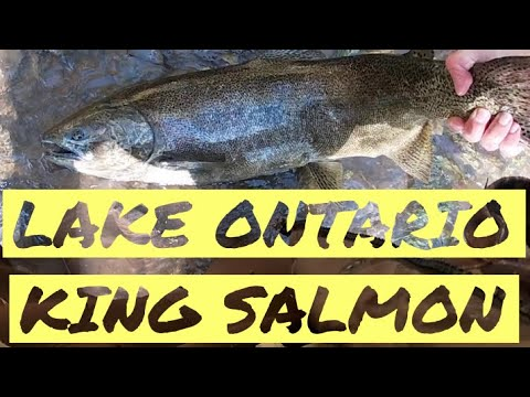Lake Ontario Salmon Fishing | 2019 Salmon Run