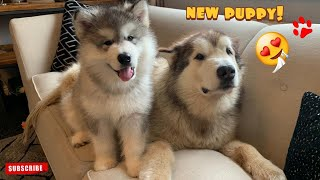 Giant Malamutes Meet New Puppy! Their First Reactions! (And The Cat!!)