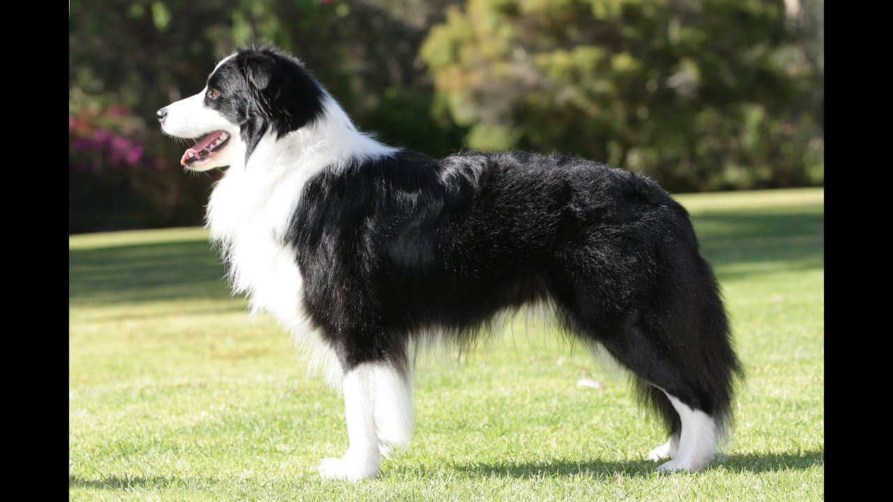Short Haired Border Collie Pictures Youtube