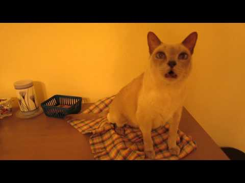 Conversation with a Tonkinese Cat