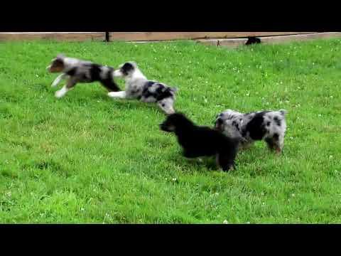 Miniature Australian Shepherd Puppies For Sale Sylvan Stoltzfus Litter 2