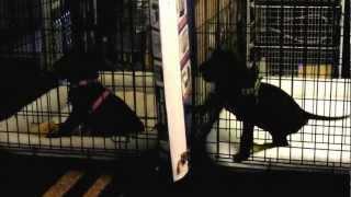 Great Dane Puppies Crate Training & Talking