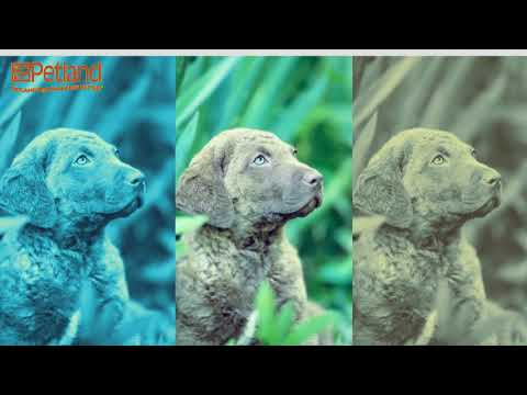 Learn all about the Chesapeake Bay Retriever and why they could be your perfect pet!