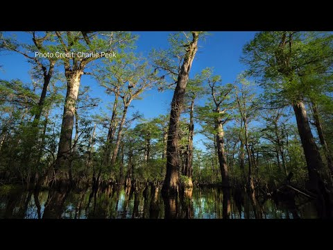 Durham Conservation Group Works To Preserve NC Trees That Are 2,600+ Years Old
