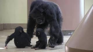 リュウ家族 チンパンジー11 Chimpanzee Ryu family groups