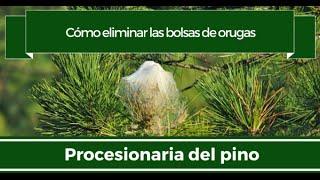 cómo eliminar las bolsas de orugas procesionaria del pino