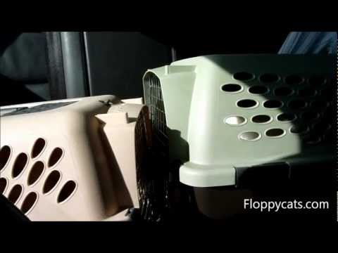 Ragdoll Cats Meowing During Car Ride - ねこ - ラグドール - Floppycats