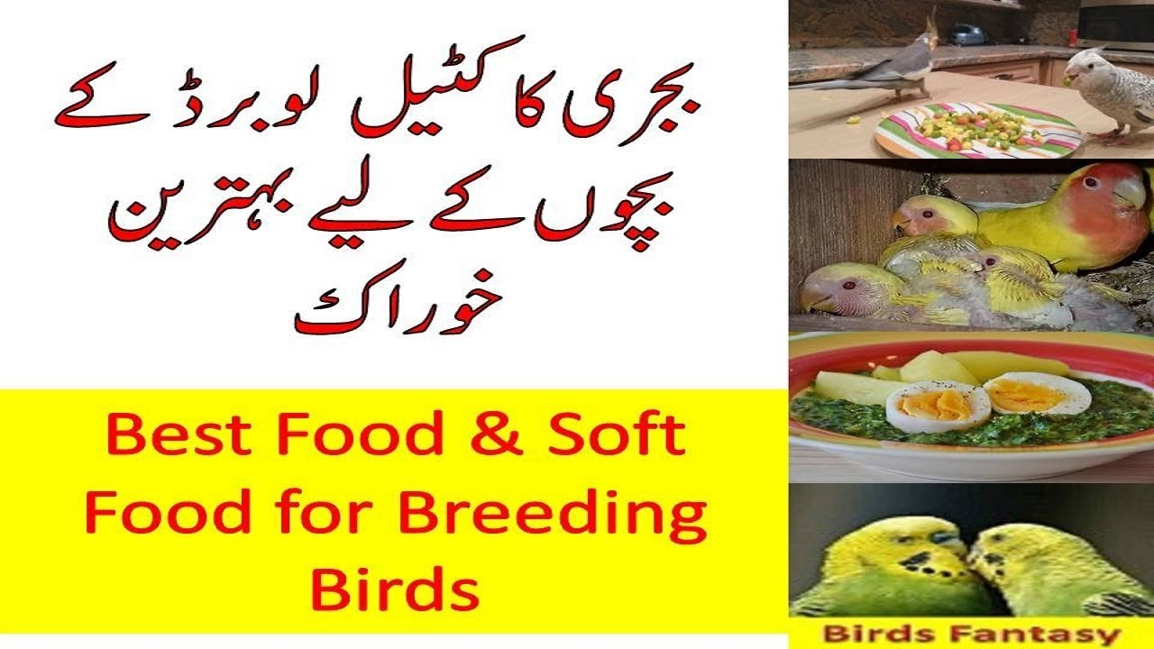 Best food for breeder birds baby budgie food recipe youtube best food for breeder birds baby budgie food recipe forumfinder Gallery