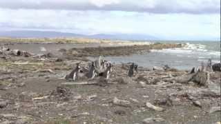 南米、パタゴニア。ペンギン達が住める一番北です。 そこで撮ったビデオ...