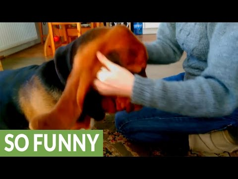 Basset Hound growls in delight for ear cleanse