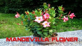 Top 10 Colorful Mandevilla Flower Ever You Seen | Amazing Flowers Video(HD)