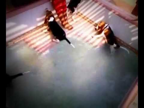 Cute Beagles In The Pool