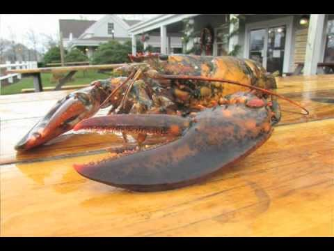 Rare Calico Lobster Thrills Cape Cod