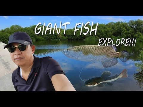 GIANT FISH EXPLORE beautiful Koi fish and more @ Singapore Tropical fish farm