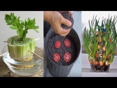 Save Your kitchen Scraps, These 7 Plants Can Be Grow Out Of Them