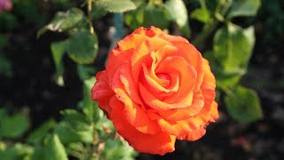 Как лечить розы  Чем опрыскивать розы и как обрезать