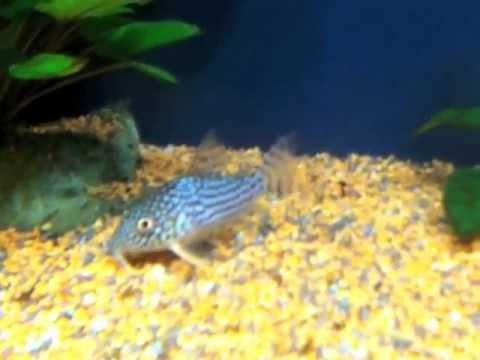Pesci pulitori corydoras youtube for Pesce pulitore acqua dolce