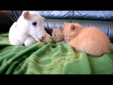 Kittens Love This Orphan Lamb