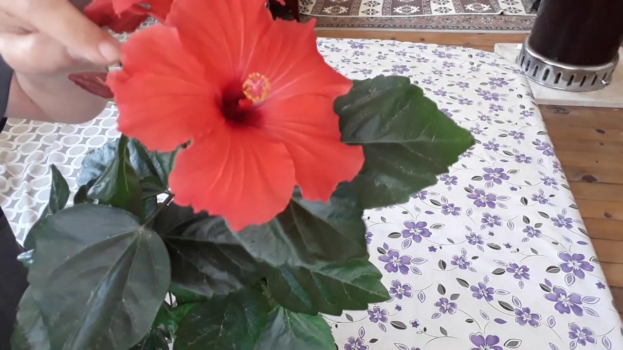 HİBİSKÜS BİTKİSİ, SAĞLIĞINIZ İÇİN( Japon Gülü,Nar Çiçeği Mekke Çiçeği) -  YouTube
